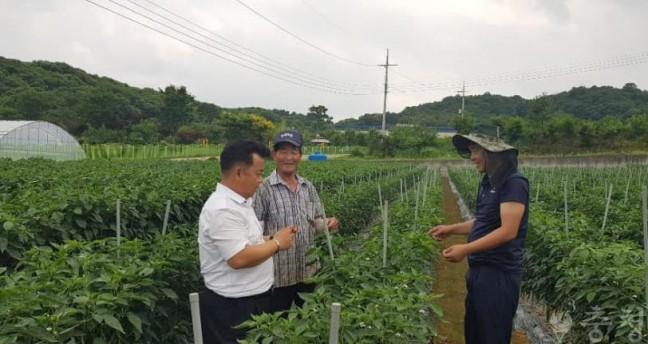 청양군 농업기술센터, 여름철 집중관리가 명품 청양고추 생산 지름길
